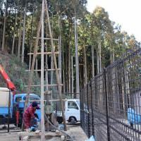 「小川内の杉」移植から11ヵ月