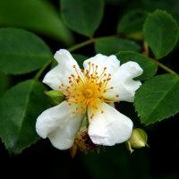 ネジキの花が健在