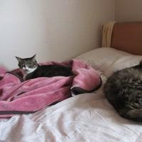 新入り猫お迎え 大猫様がやってきた - 猫たちの微妙な距離感