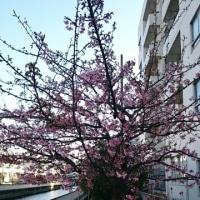 深川で桜が咲いていました。