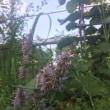 梅雨明けと、庭の花