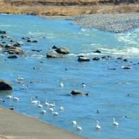 早春の信州・・・千曲川の清流で・・・コハクチョウが羽を休めていた