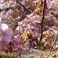 2/19_静豊園の河津桜