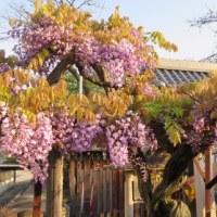 今朝(4月29日)の曼陀羅寺の藤は・・・