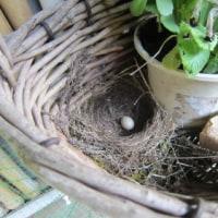 産卵始まる