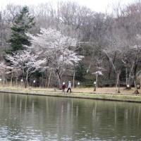 北山公園の水芭蕉