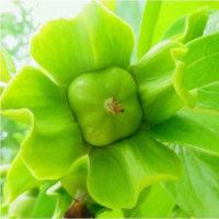 サイフリボクの実と幼いリンゴ。鶴見緑地公園(大阪市) 17・5.23