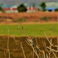 野鳥…カシラダカ