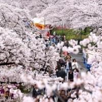 大阪で桜が満開・・・・・・・・・・・・・・の記事です。