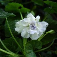 ニオイスミレ スイートバイオレットの白花