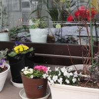 雪に咲く強い花・・・パンジー プリムラポリアンサ
