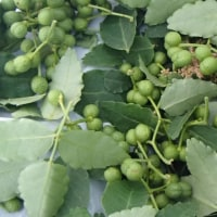 多発する山菜の食中毒事故・・・