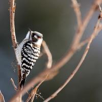 野鳥観察 コゲラ