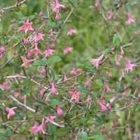 季節の花「鶯神楽 (うぐいすかぐら)」