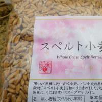 古代小麦、種まき