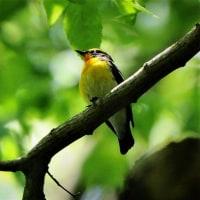 今日の野鳥   キビタキ