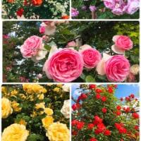 薔薇の季節とムンクいじり!
