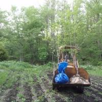 接木した果樹の掘り取り