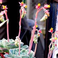 エケベリアという花