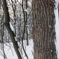 冬芽の観察84カシワ3