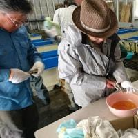 アマゴの採卵作業お手伝い