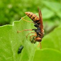 アシナガバチ(脚長蜂)