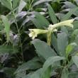 ウバユリ(ユリ科・ウバユリ属)多年草