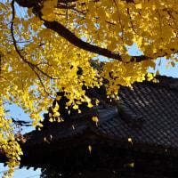 千葉寺の公孫樹(千葉市)
