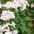 バラ花壇 α7RⅡ+MC-11+ TAMRON SP70-300mm f4-5.6 Di VC USD