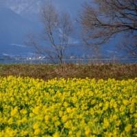 菜の花畑に冠雪の比良山