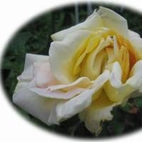 薔薇幾たびか花咲きし♫ピース♫・・・ささみフライ。
