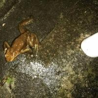 カエルが道端を歩いていたぞ!