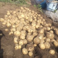 ジャガイモを全部掘った