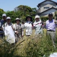 菜の花の種採り 銚子電鉄沿線に花を咲かせます