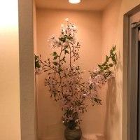 桜の木をいただきました。