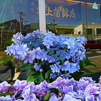 『季節の花』 紫陽花