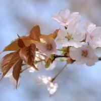 リリコと山桜