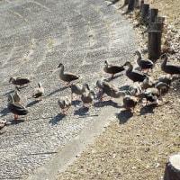 身近な野鳥