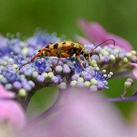 「ハナカミキリ」と紫陽花
