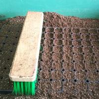 空中ポットレストレーでトウモロコシの苗を育苗するときのコツ