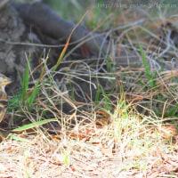 200mmで野鳥撮影 アトリ