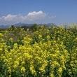 菜の花景色