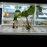 水耕栽培でのストロベリー
