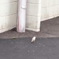 白スズメ。