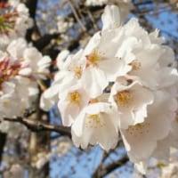 桜の開花情報