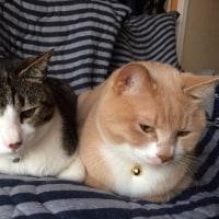 ♂猫だいずの便秘にロイヤルカナン消化器サポート(可溶性繊維)を与えています【猫日記こむぎ&だいず】2017.05.25