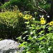 2017ー夏① コヒマワリが咲き始めました!