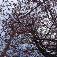 エゾヤマザクラが咲いている!