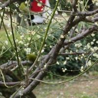 高知城と梅の花