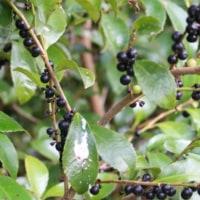 ヒサカキ(モッコク科・ヒサカキ属)常緑低木